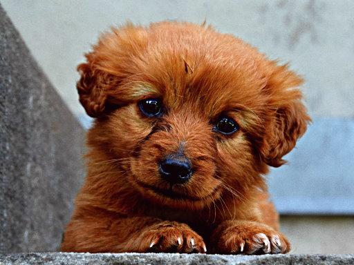 Tatlı Köpek Yapboz