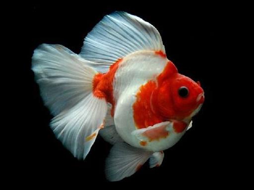 Japon Balığı Yapbozu