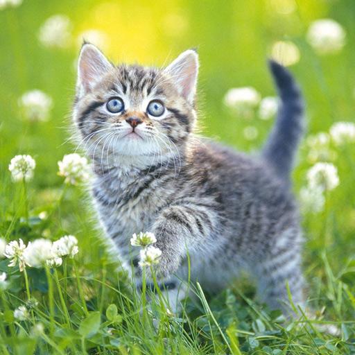 Yavru Kedi Yapbozları